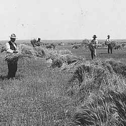 """Wheat field on Dutch flats near Mitchell, Nebr. Farm of T.C. Shawver."""