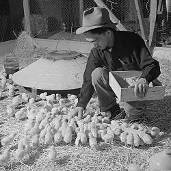 Tule Lake Relocation Center, Newell, California. Harry Makino, manager of the Tule Lake Poultry...